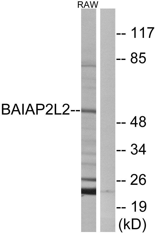 BAIAP2L2 Antibody (PA5-39063)