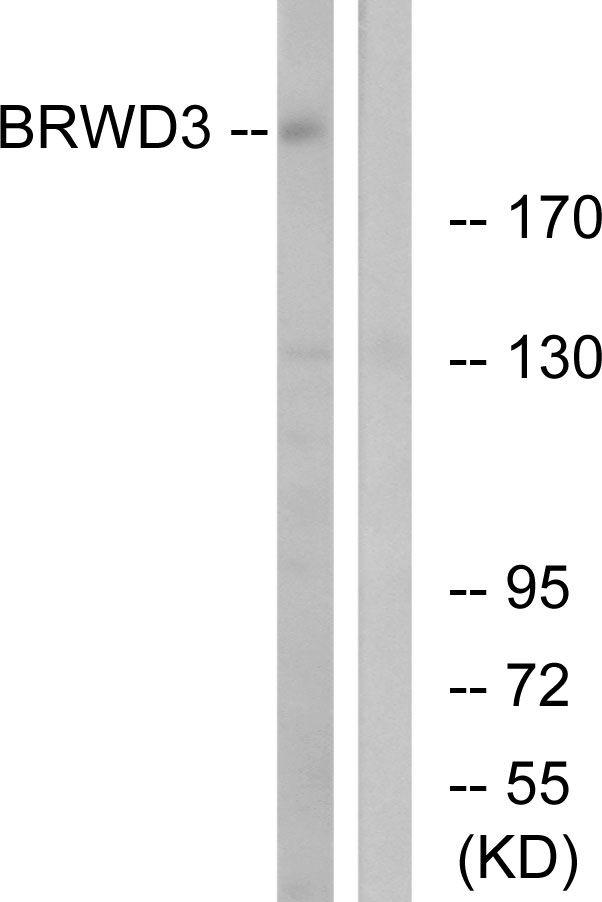 BRWD3 Antibody (PA5-39065) in Western Blot