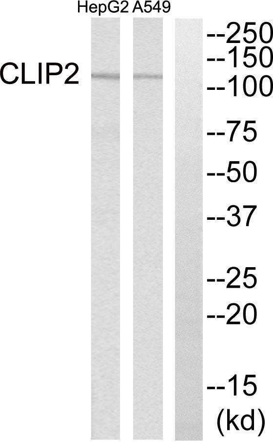 CLIP2 Antibody (PA5-39071)