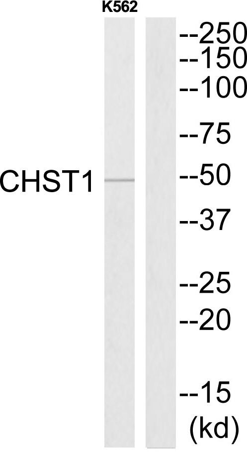 CHST1 Antibody (PA5-39073)