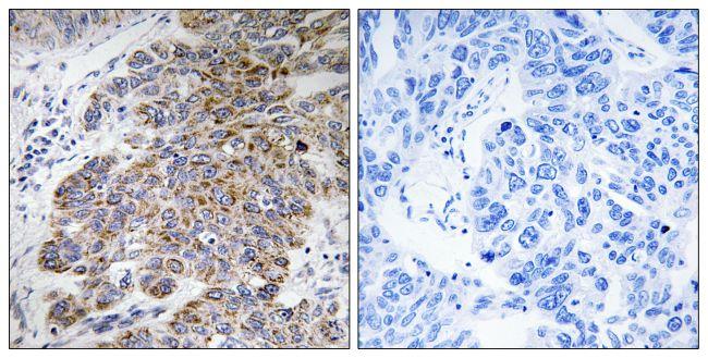 CHST10 Antibody (PA5-39074)
