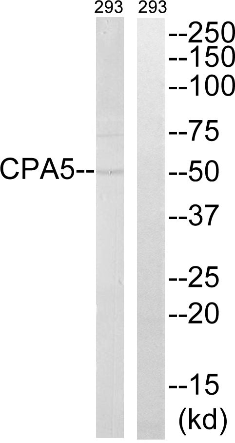 Carboxypeptidase A5 Antibody (PA5-39080)