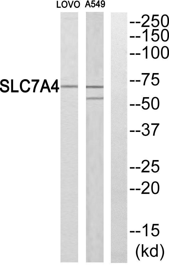 SLC7A4 Antibody (PA5-39081) in Western Blot