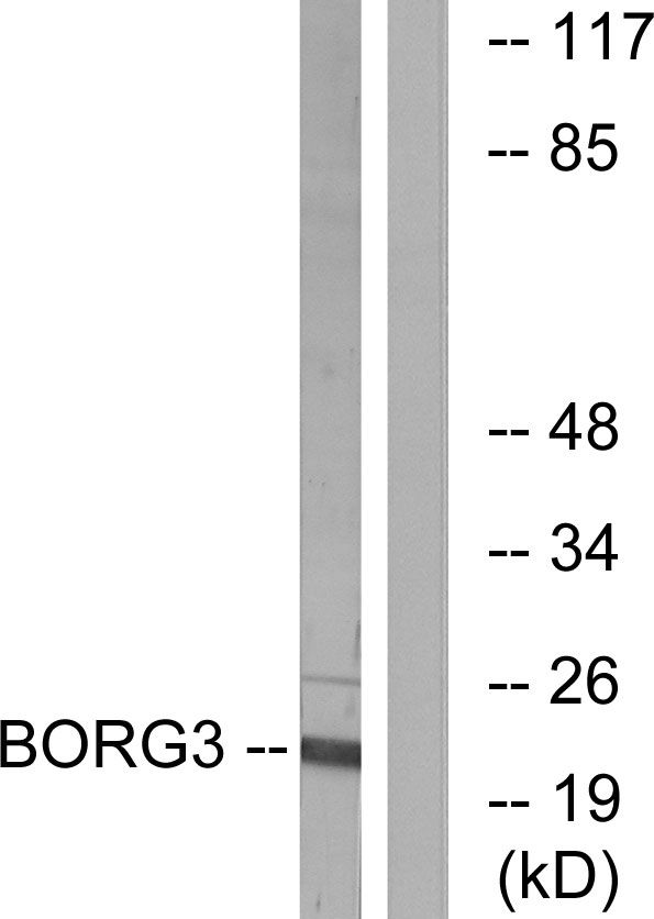Cdc42EP5 Antibody (PA5-39085) in Western Blot