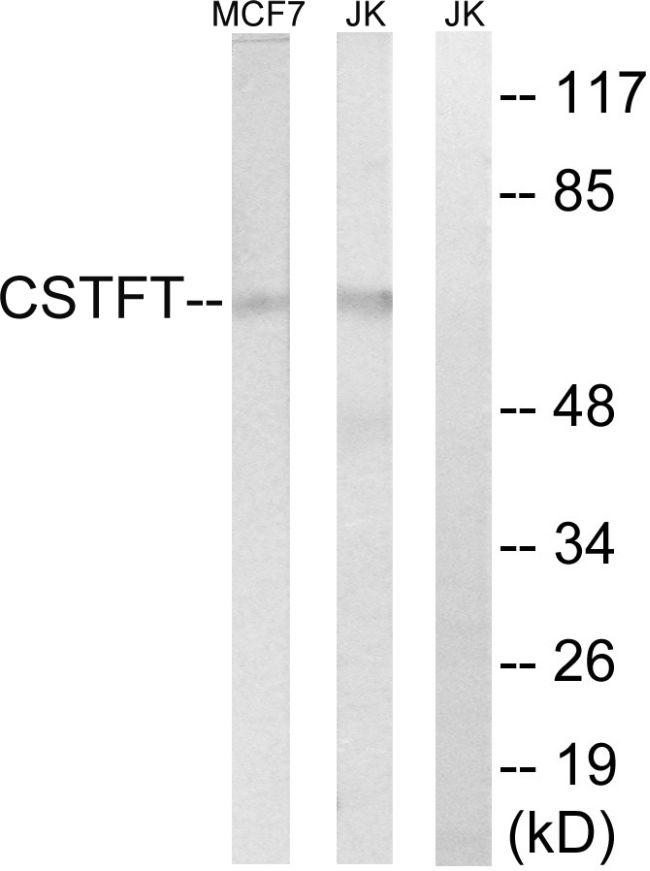 CSTF2T Antibody (PA5-39109)
