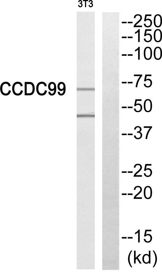 SPDL1 Antibody (PA5-39115) in Western Blot