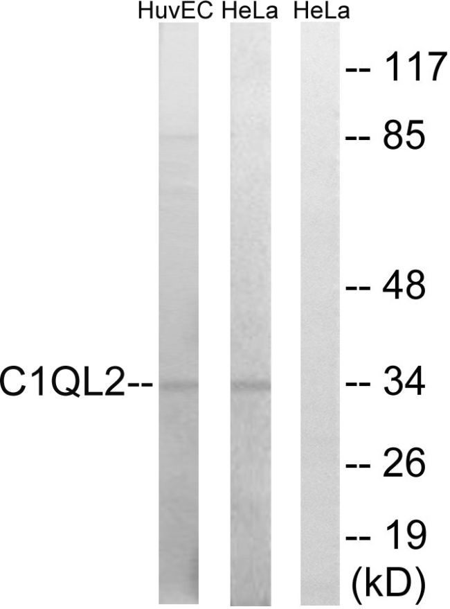 C1QL2 Antibody (PA5-39116) in Western Blot
