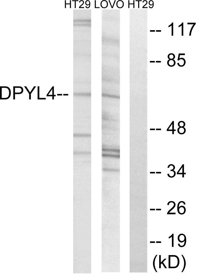 CRMP3 Antibody (PA5-39134)