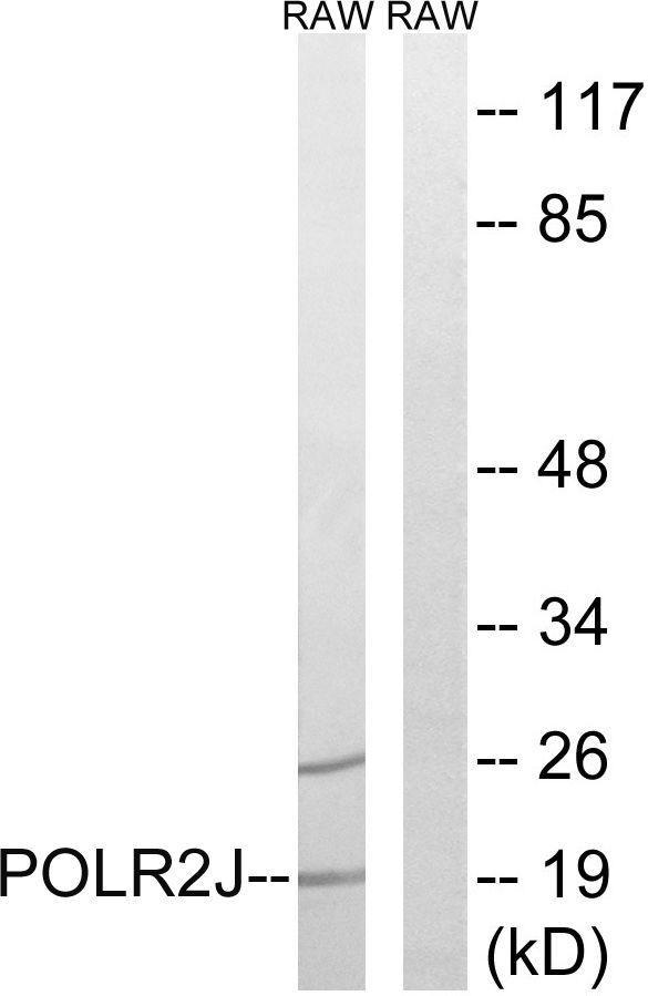 POLR2J Antibody (PA5-39140) in Western Blot