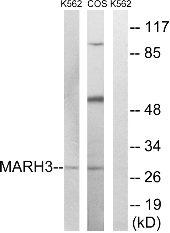 MARCH3 Antibody (PA5-39145) in Western Blot