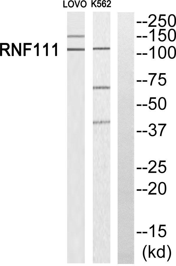 RNF111 Antibody (PA5-39148)