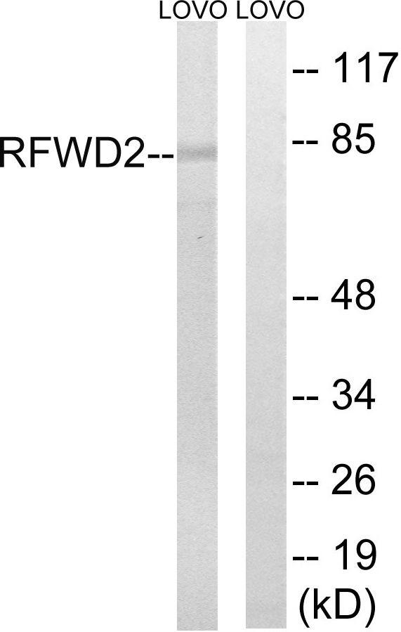 RFWD2 Antibody (PA5-39149) in Western Blot