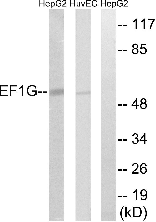 EEF1G Antibody (PA5-39158) in Western Blot
