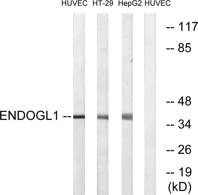 ENDOGL1 Antibody (PA5-39161)