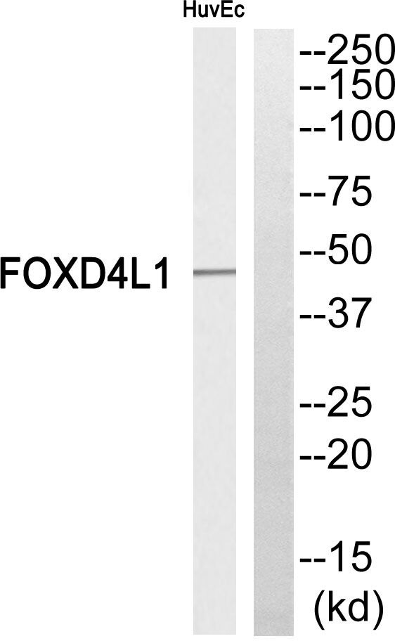 FOXD4L1 Antibody (PA5-39171)