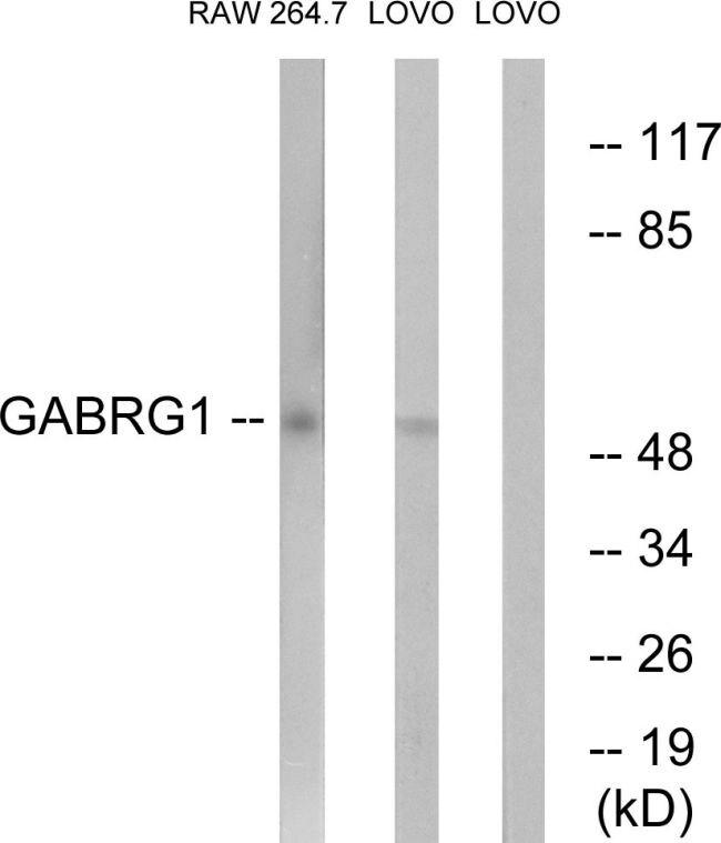 GABRG1 Antibody (PA5-39179) in Western Blot