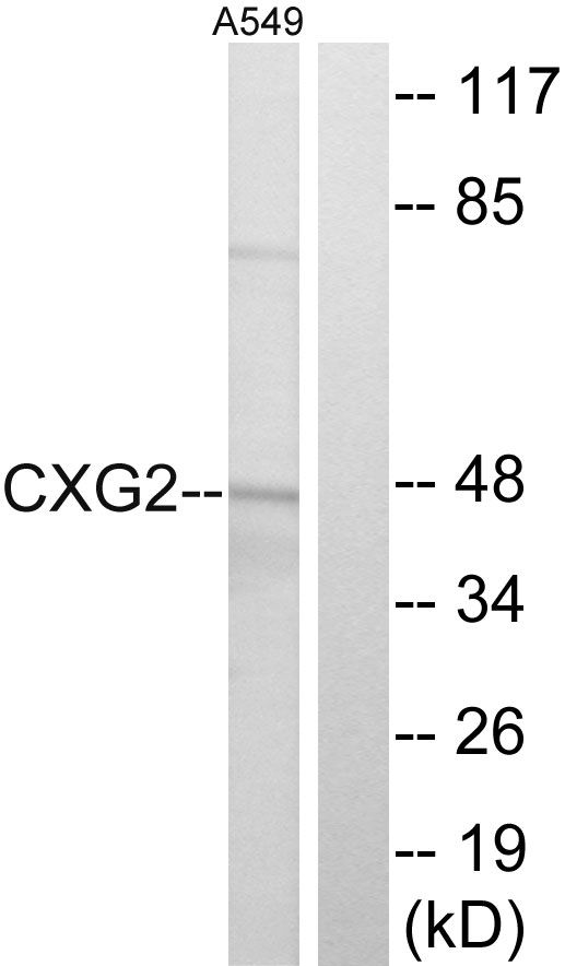 Connexin 47  Antibody (PA5-39184) in Western Blot