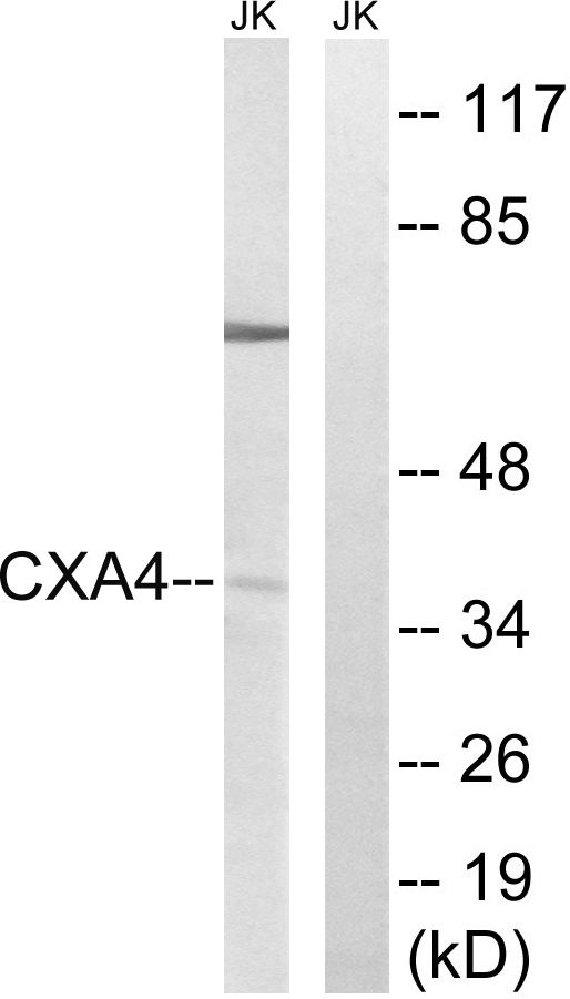 Connexin 37 Antibody (PA5-39185) in Western Blot