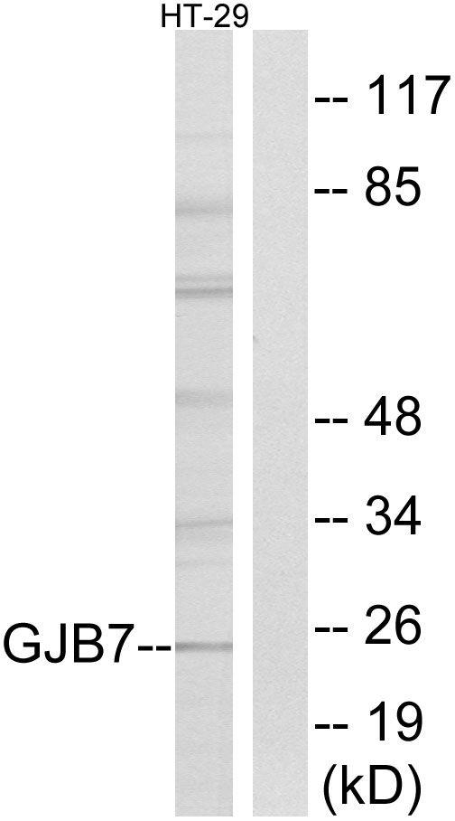 Connexin 25  Antibody (PA5-39186) in Western Blot