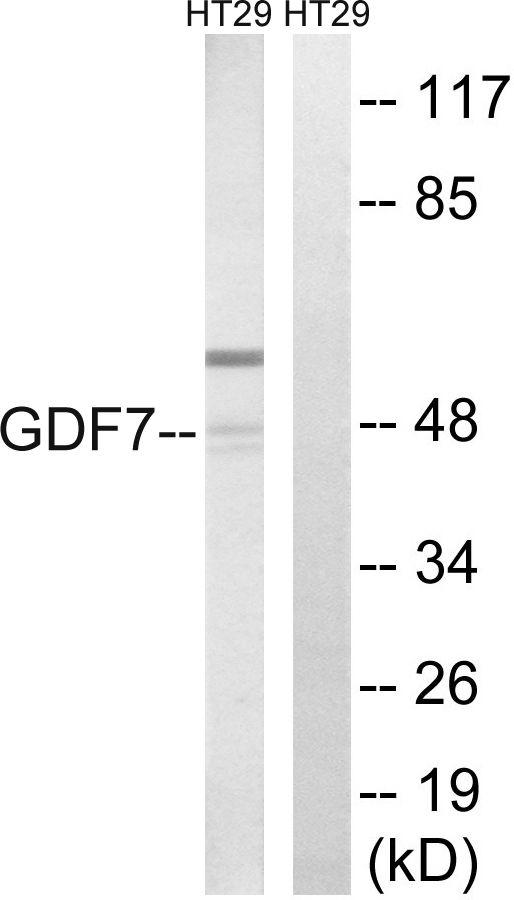 GDF7 Antibody (PA5-39195)