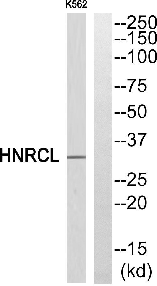 hnRNP CL1 Antibody (PA5-39204) in Western Blot