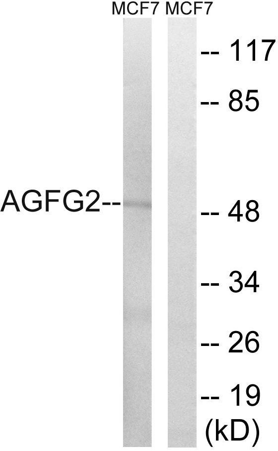 AGFG2 Antibody (PA5-39207) in Western Blot