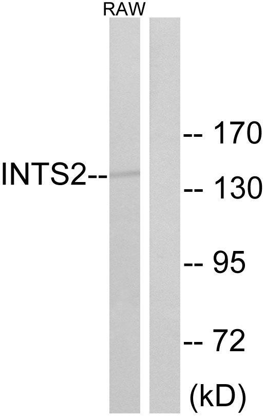 INTS2 Antibody (PA5-39217)