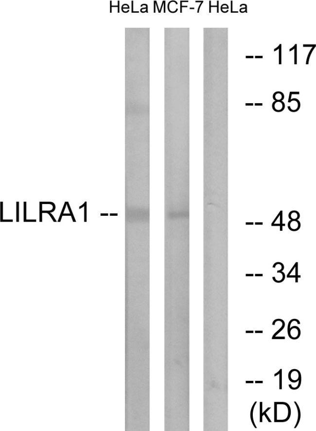 LILRA1 Antibody (PA5-39225) in Western Blot