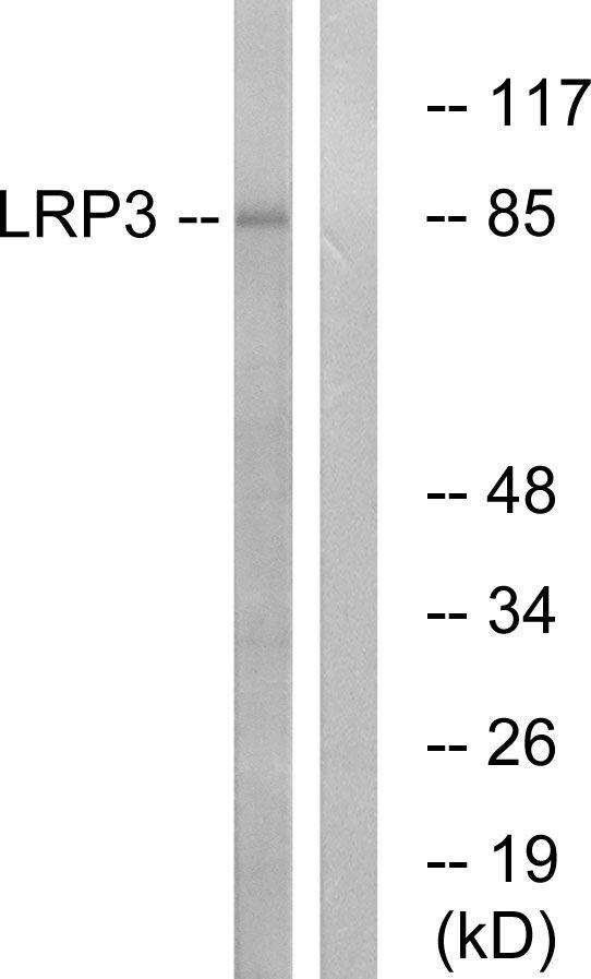 LRP3 Antibody (PA5-39230) in Western Blot