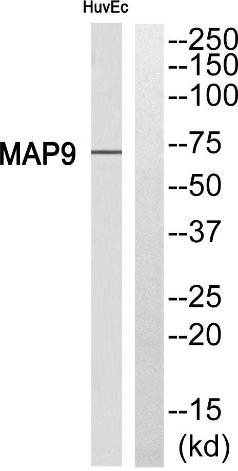 MAP9 Antibody (PA5-39238)