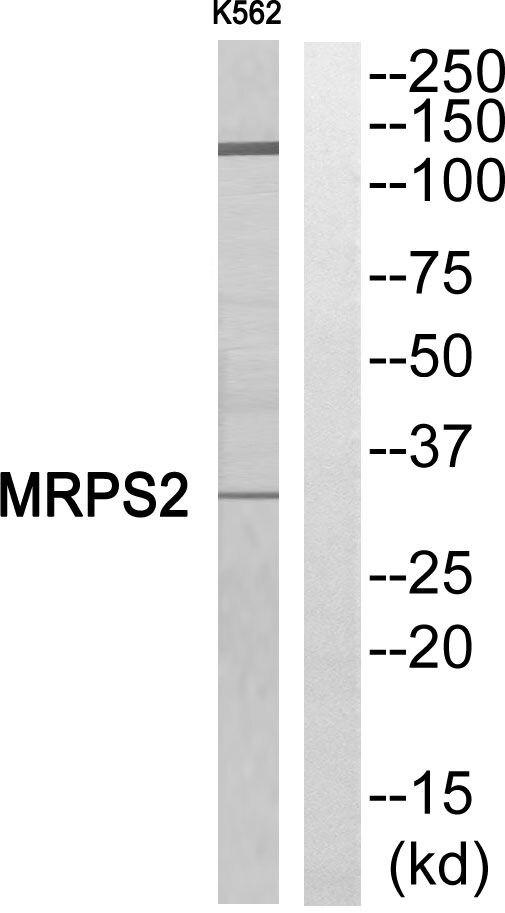 MRPS2 Antibody (PA5-39239) in Western Blot