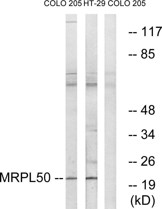 MRPL50 Antibody (PA5-39246) in Western Blot