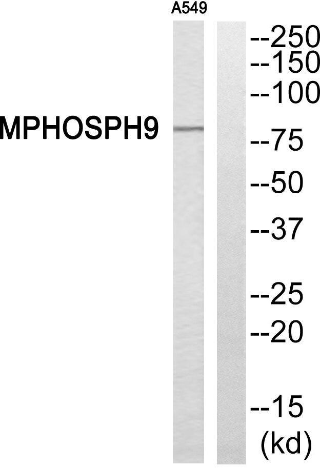 MPP9 Antibody (PA5-39254)