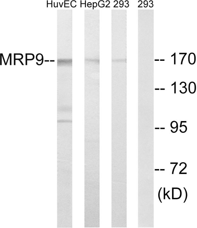 MRP9 Antibody (PA5-39255) in Western Blot