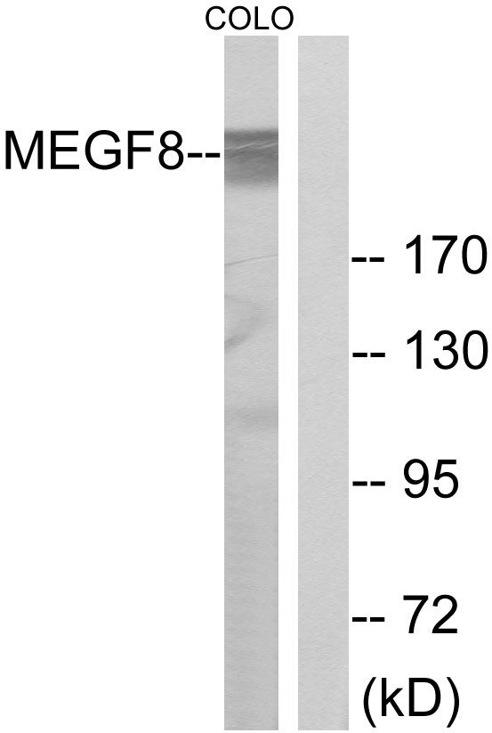 EGFL4 Antibody (PA5-39256)