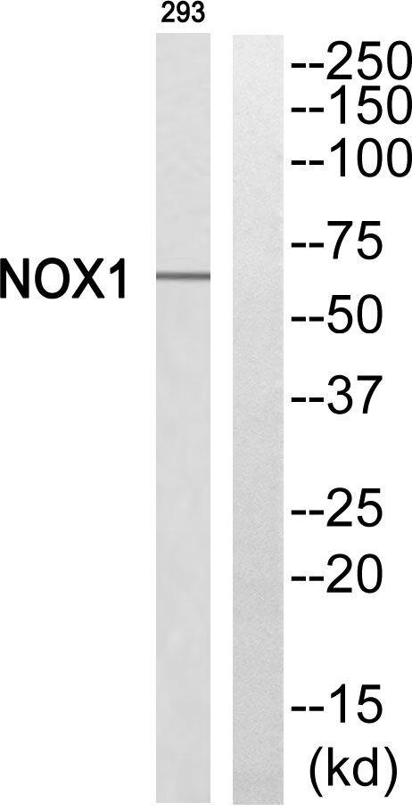 NOX1 Antibody (PA5-39281)