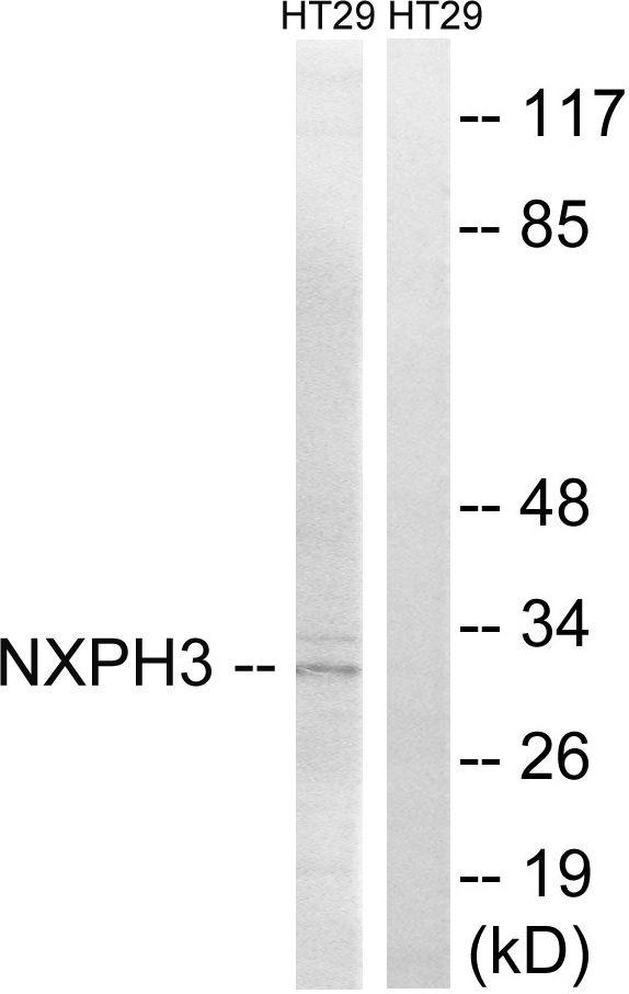 NXPH3 Antibody (PA5-39289) in Western Blot