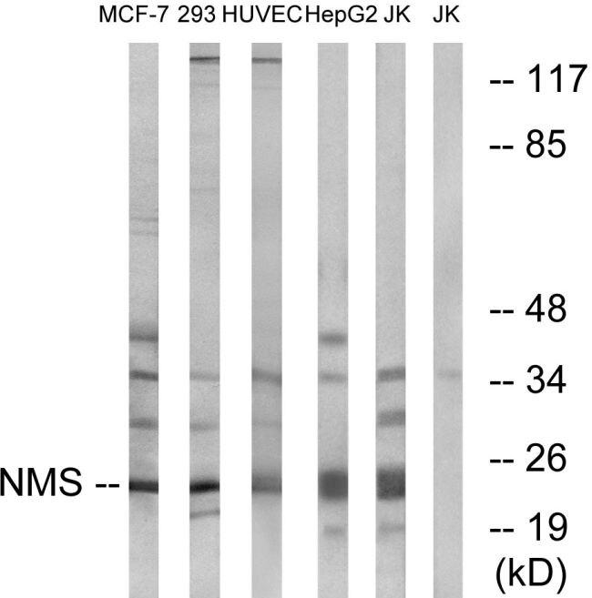 NMS Antibody (PA5-39297)