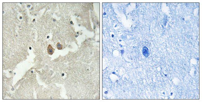 NSG2 Antibody (PA5-39303)