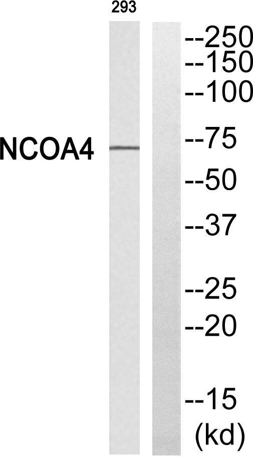 NCOA4 Antibody (PA5-39311) in Western Blot