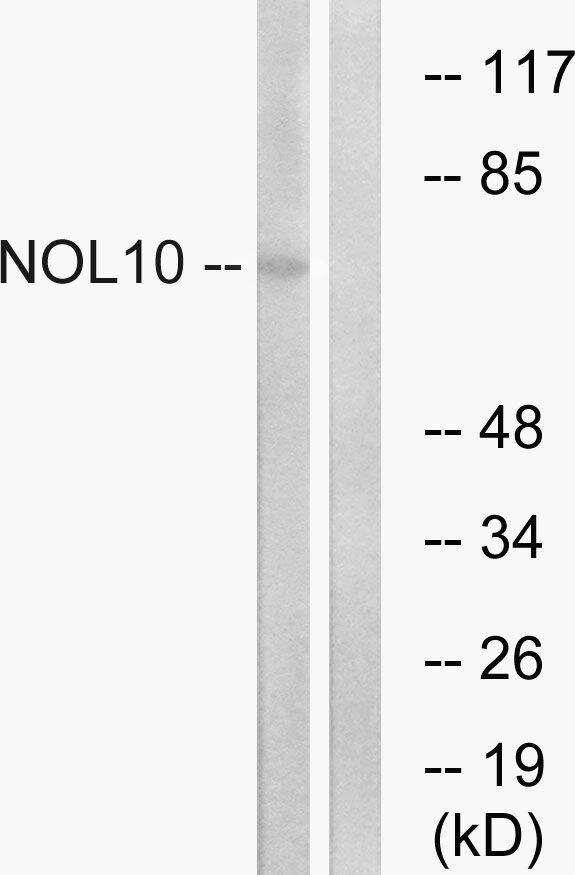 NOL10 Antibody (PA5-39317)