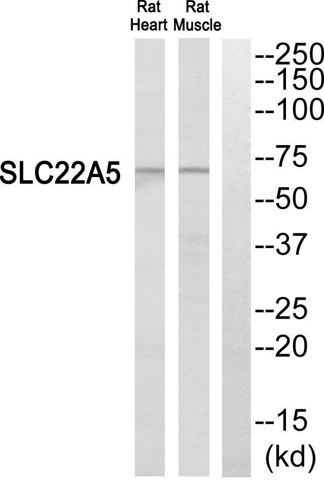 SLC22A5 Antibody (PA5-39323)