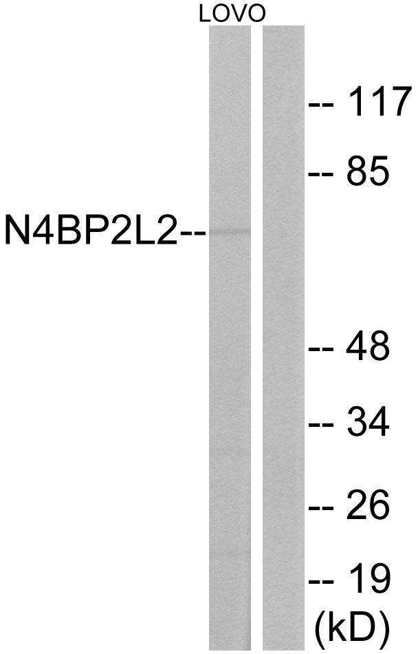 N4BP2L2 Antibody (PA5-39341)
