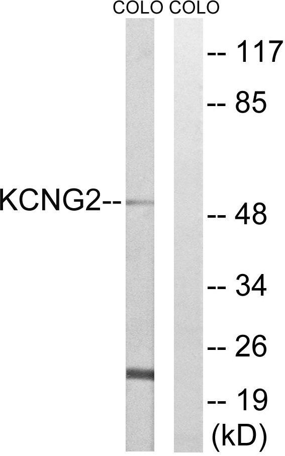 KCNG2 Antibody (PA5-39352)