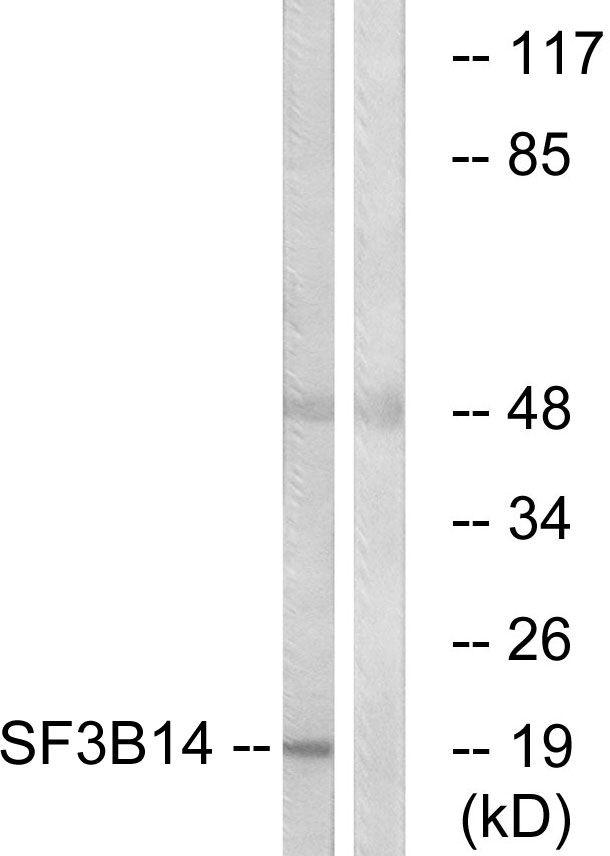 SF3B6 Antibody (PA5-39354) in Western Blot