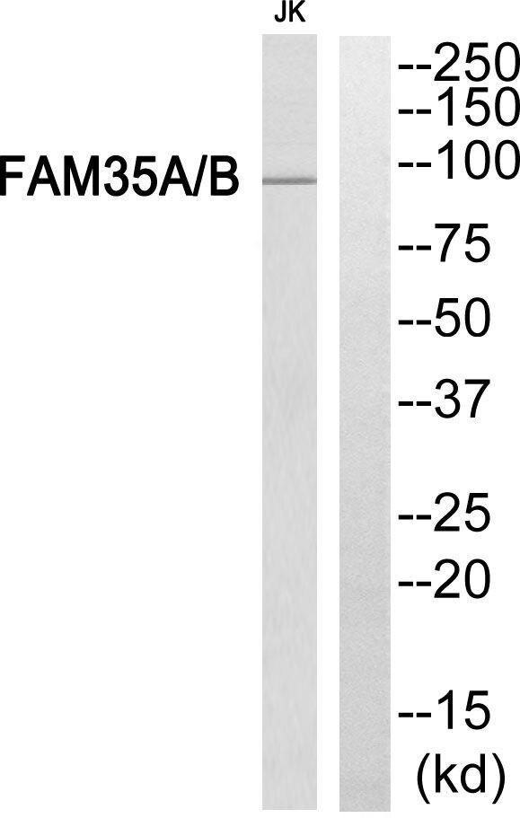 FAM35A/FAM35B Antibody (PA5-39363)