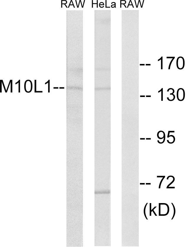 MOV10L1 Antibody (PA5-39378) in Western Blot