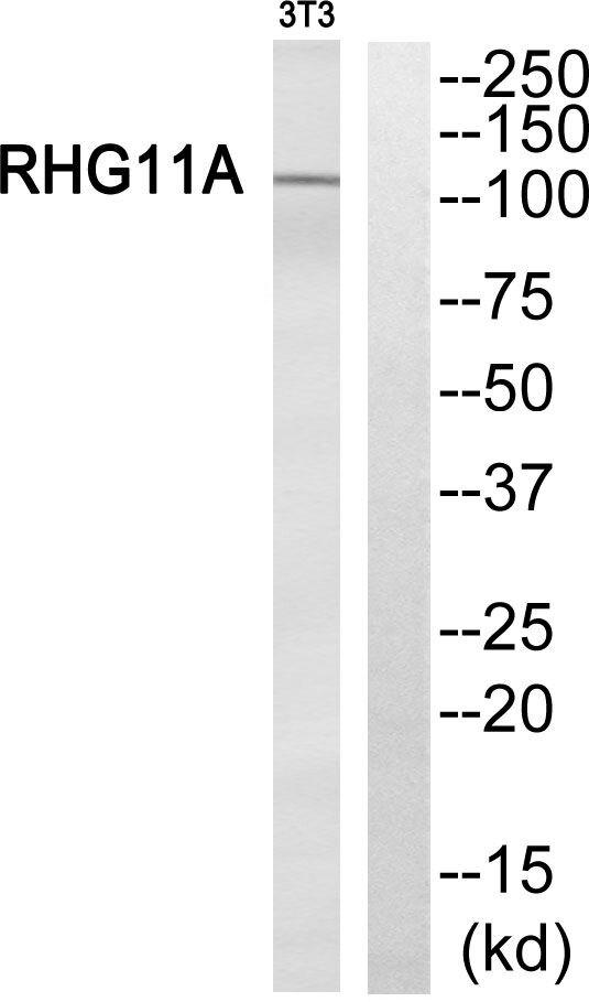 ARHGAP11A Antibody (PA5-39414) in Western Blot