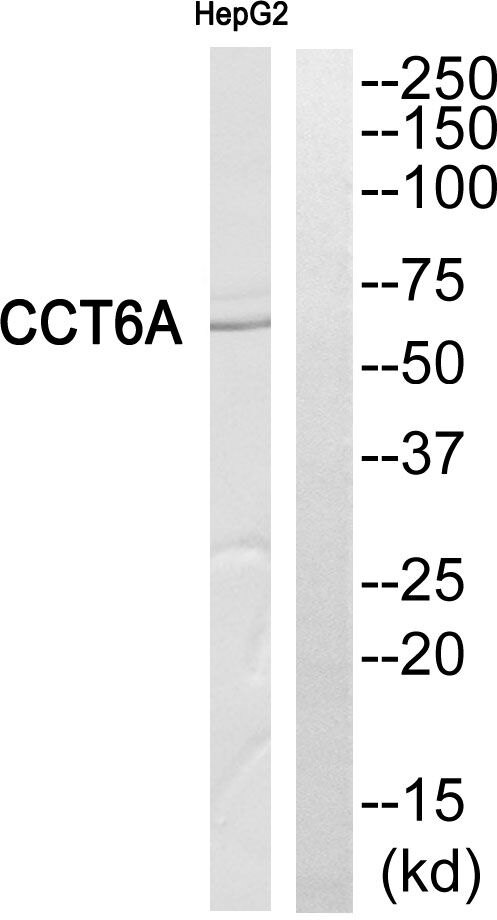 TCP-1 zeta Antibody (PA5-39492) in Western Blot