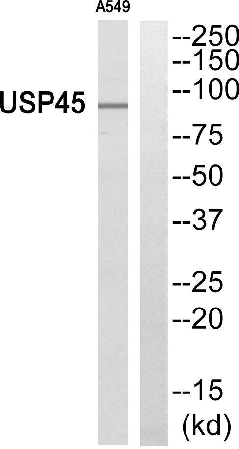 USP45 Antibody (PA5-39517)